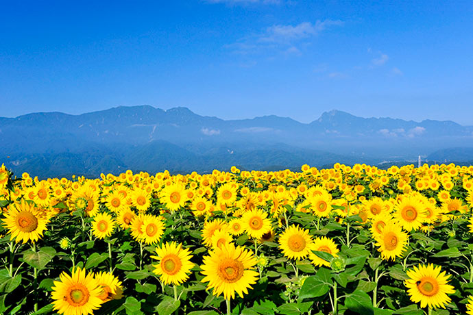 Sunflower + mountain = perfect! (Akeno Sunflower Field)