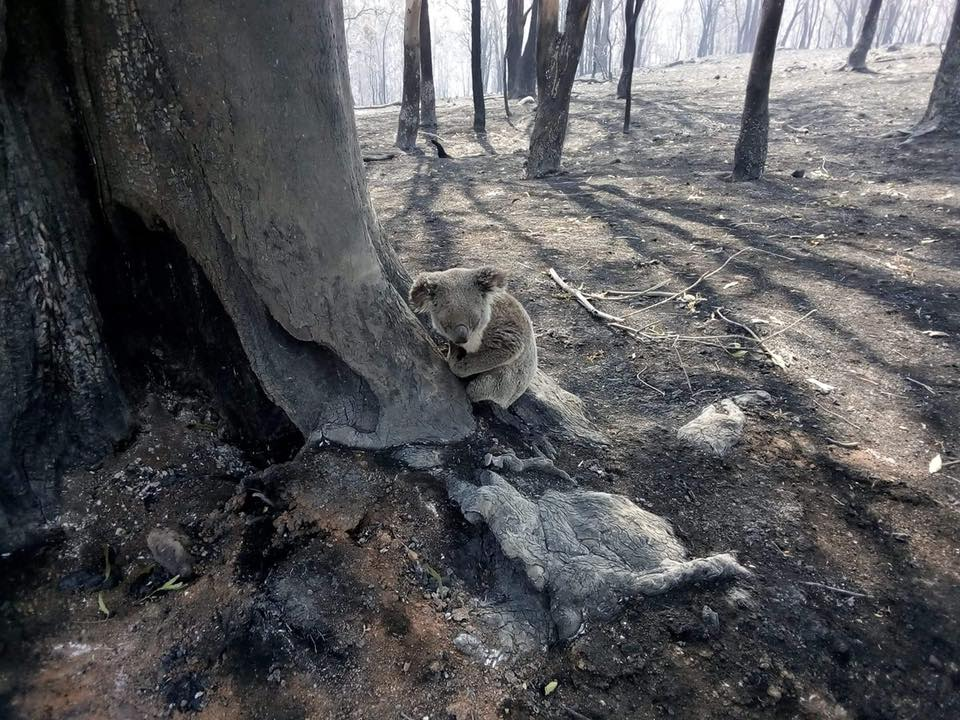 Another koala rescued during the Gold Coast Hinterland bushfire.