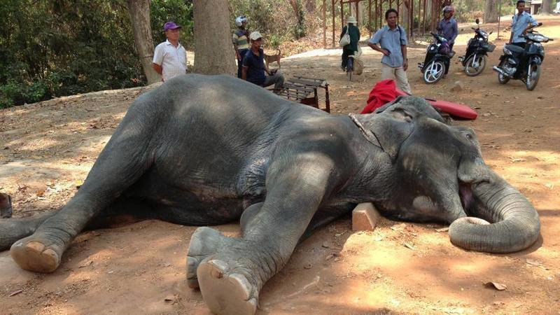 This poor elephant collapsed and died after working in 40 degrees heat.