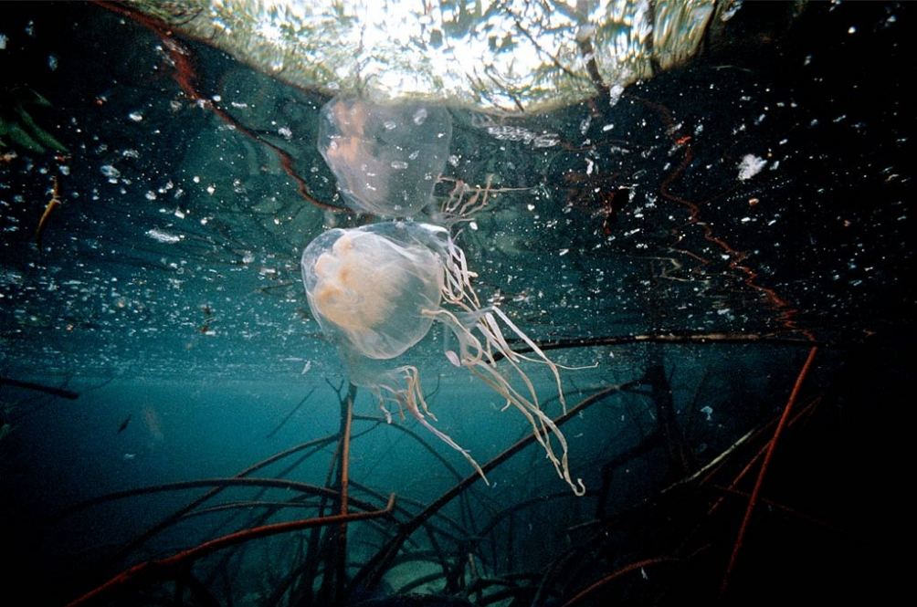 Locals And Travellers, Beware Of This Deadly Jellyfish 'Attacking' Sabah Soon