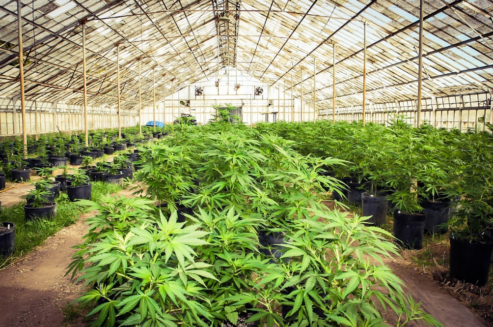 The Govt Is Considering Allowing M'sians To Grow Their Own Marijuana But There's A Catch