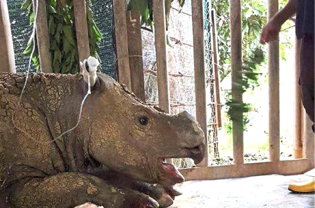 Malaysia's Last Female Sumatran Rhino Is Recovering Following Tumour Burst