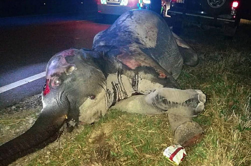 Female Elephant Killed After Being Hit By Trailer In Terengganu