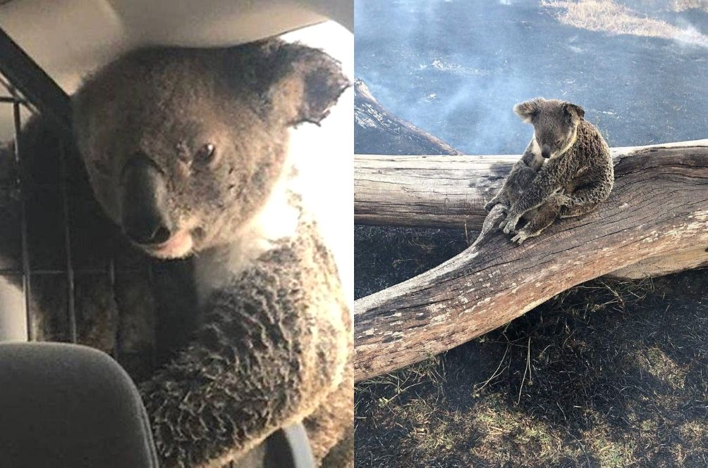This Photo Of A Koala Hugging Its Baby After A Bushfire Will Break Your Heart