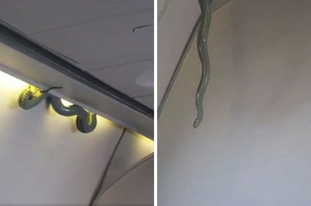 """""""Snakes on a Plane"""" Eventually Becomes a Real-Life 'Movie' on A Flight in Mexico"""