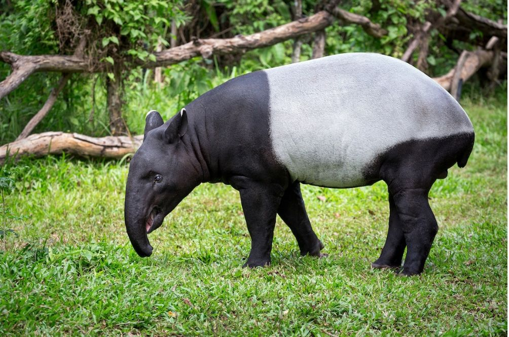 Malaysian Tapirs Will Finally Get Their Own Conservation Centre In Jelebu Soon