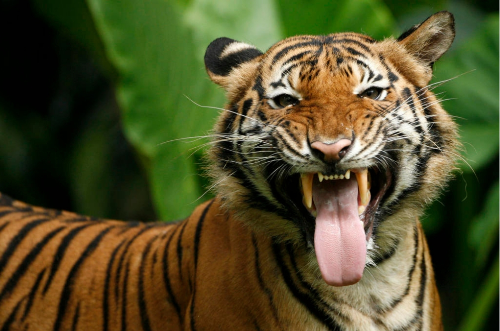 Heartbreaking Truth: Our Malayan Tigers May Possibly Go Extinct As Early As 2024