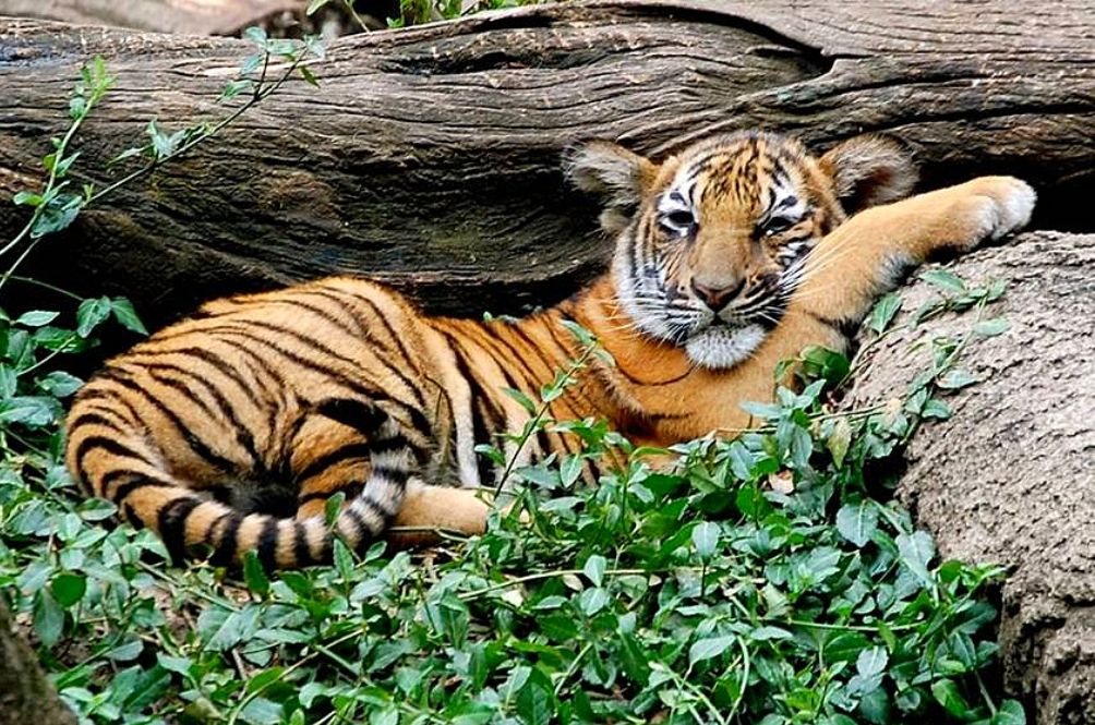 Feline In Distress: Malayan Tigers May Possibly Go Extinct By 2022