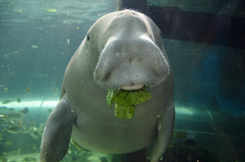 There Are Only 100 Dugongs Left in Malaysia and They're on the Verge of Extinction