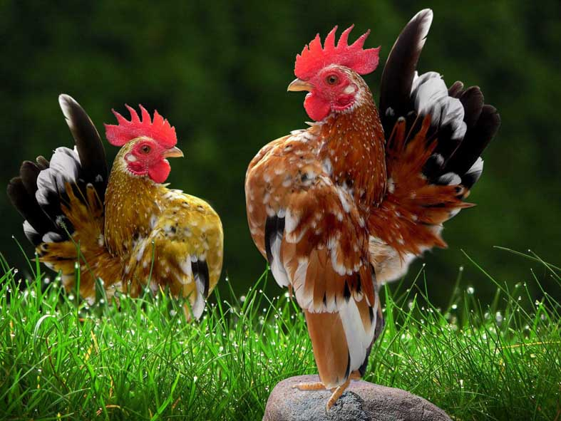 Serama chickens stand tall with style and confidence.