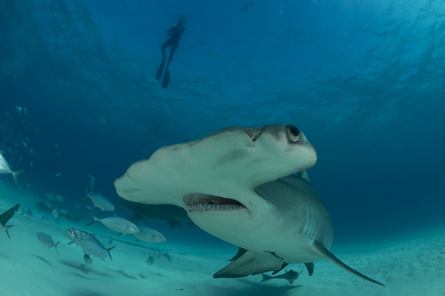 The great hammerhead shark.