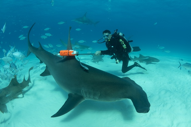 Marine biologist Yannis Papastamatiou deploying a new technology tag on a great hammerhead shark.