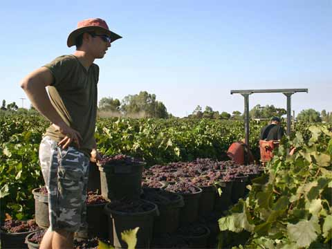 The fruit picking season usually begins in December and ends in May.