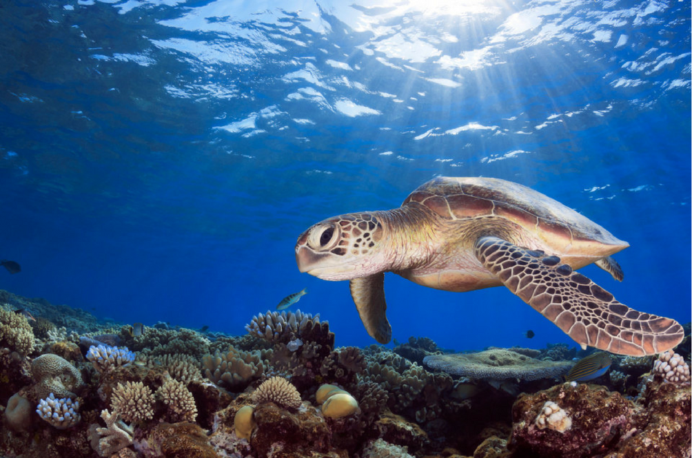 There Are More Female Than Male Green Sea Turtles, And That's A Huge Problem!