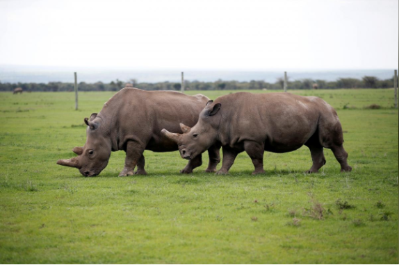 Najin and Patu, the last two female northern white rhinos in the world.