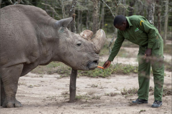 Sudan was still able to stand and feed back at the Laikipia national park in May last year.
