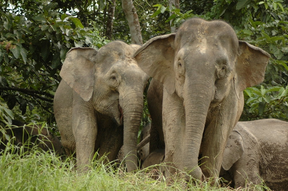 Elephants Are Now The Next Species In Line Facing Extinction In Malaysia