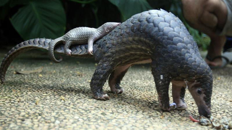 A pangolin with a baby on its back.