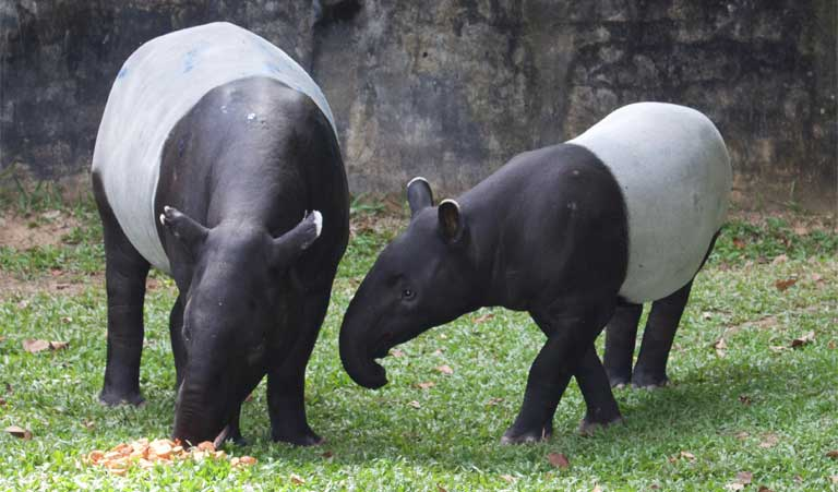 There are approximately 700 to 800 Malayan tapir left in Malaysia.