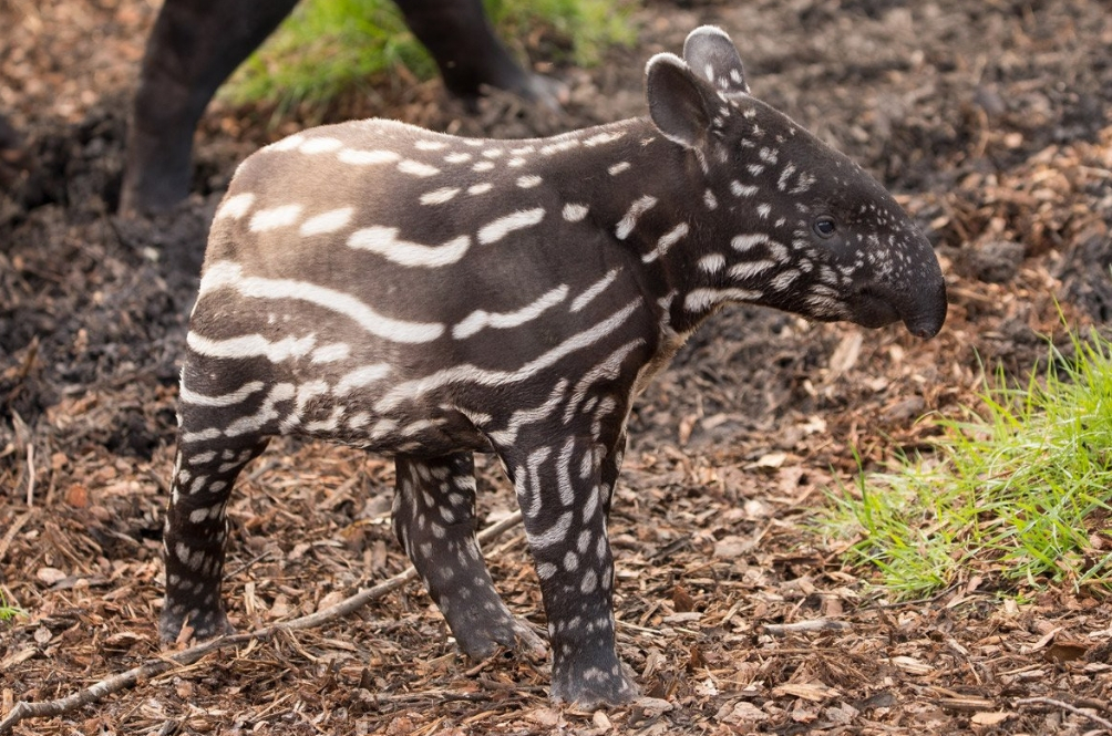 3-Month-Old Rare Malayan Tapir Dies In Edinburgh Zoo