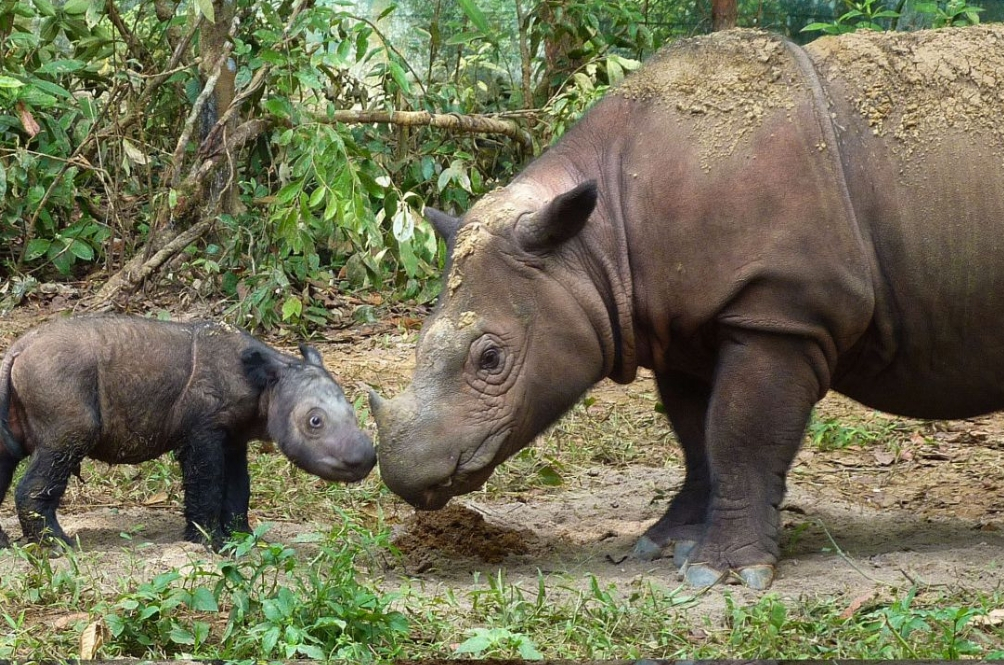 The Sumatran Rhinos Are Officially Extinct