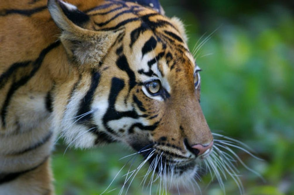 Perhilitan To Work With The Police And Armed Forces To Stop Malayan Tiger Poaching