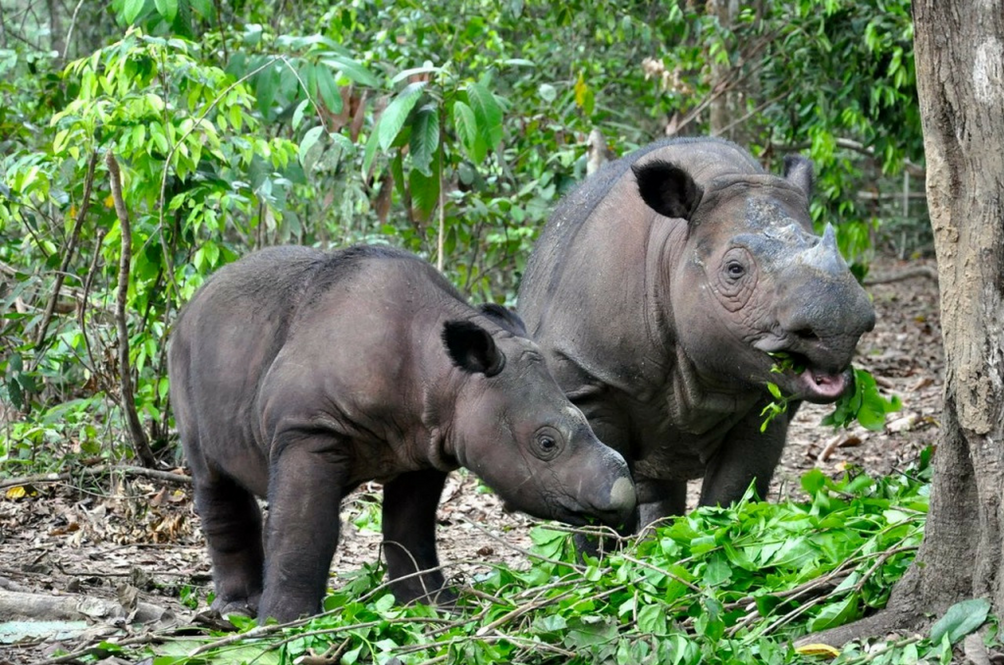 Sumatran Rhinos Believed to Be Extinct in Malaysia May Still be Roaming the Sabah Rainforests