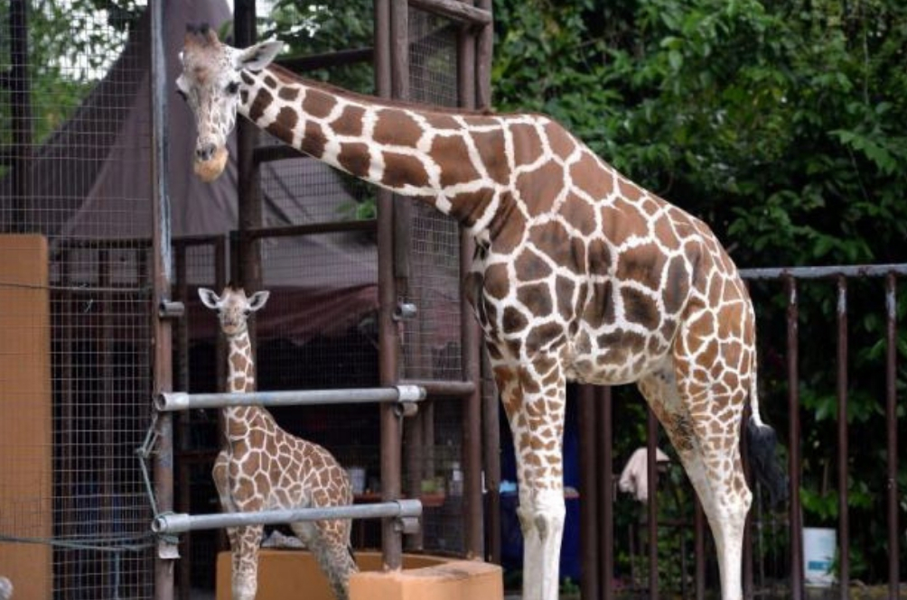 There's A New Baby Giraffe Born In Zoo Negara