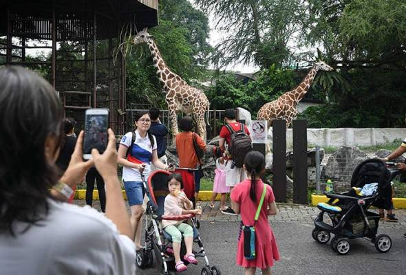 Giraffes are some of the most well-loved animals at Zoo Negara.