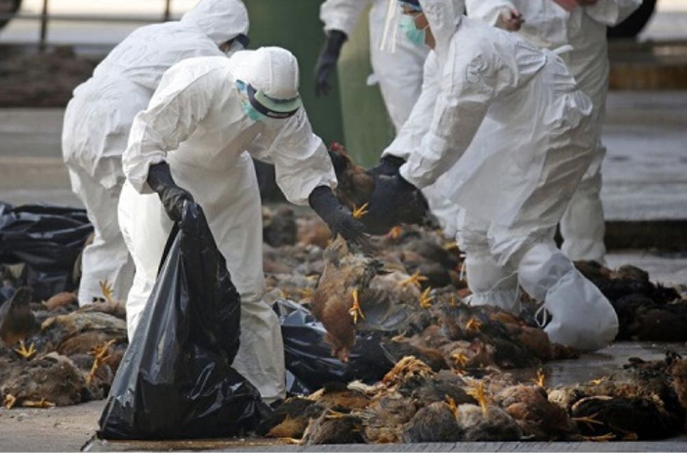 H5N6 Bird Flu: Thousands Of Birds Culled In Vietnam
