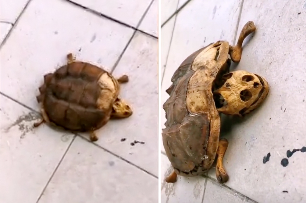 Student Leaves Pet Turtle In Wuhan Dormitory During Lockdown, Returns To Find Only Bones