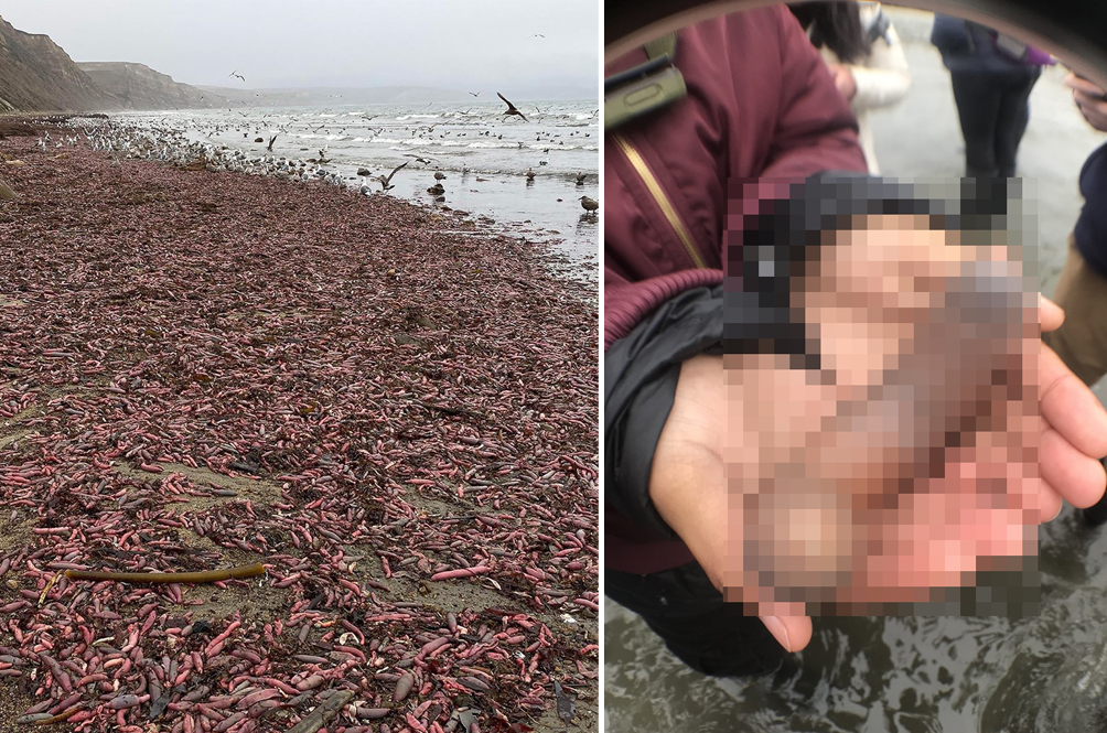 This Is Nuts: Thousands Of 'Penis Fish' Cover Every Inch Of Californian Beach After Storm