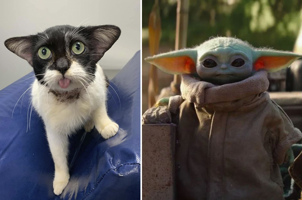 This Adorable Cat Is The Newest Internet Star For Its Resemblance To Baby Yoda