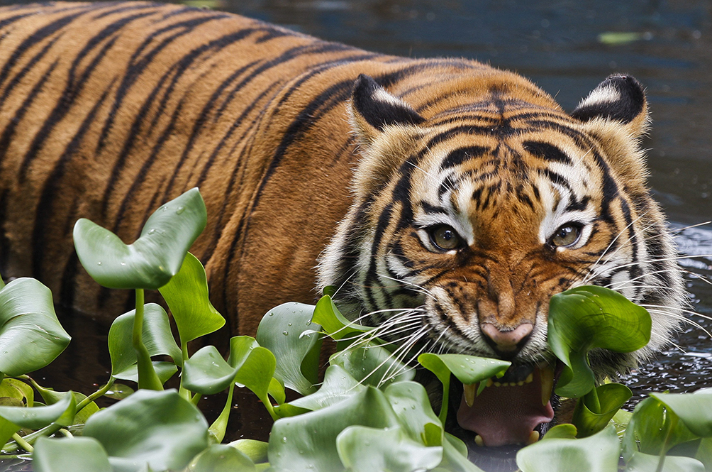 The Malayan Tiger is also an endangered species.