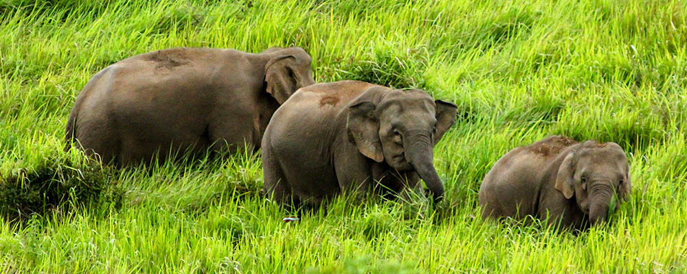 Pygmy elephants are the smallest of its kind.