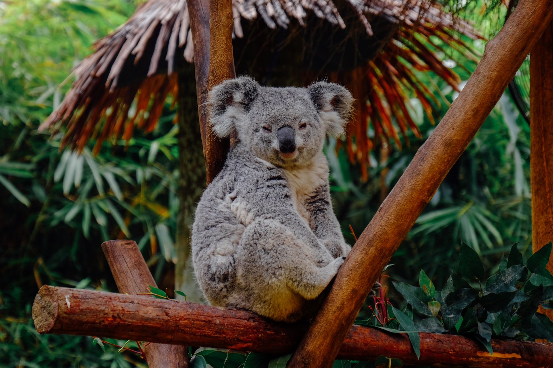 Please save the koalas.