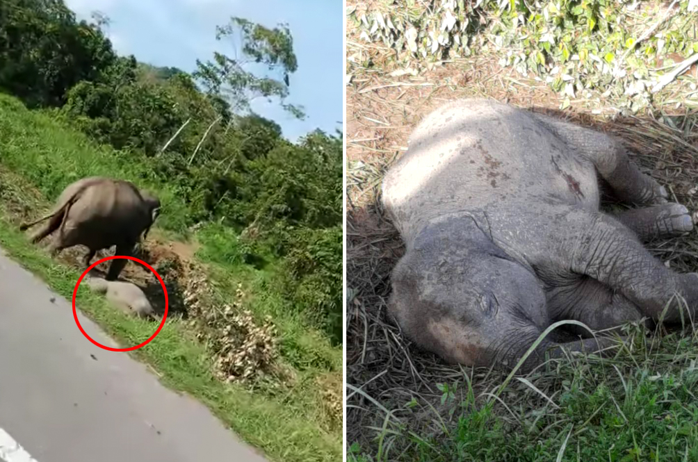 [VIDEO] Heartbroken Mother Elephant Seen Mourning Dead Calf In Johor
