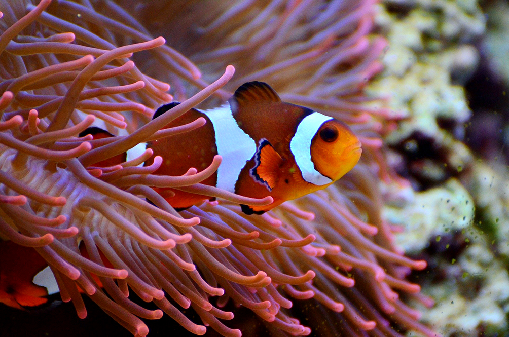 The Clownfish (AKA Nemo) Could Soon Disappear From The Face Of The Earth, And Here's Why