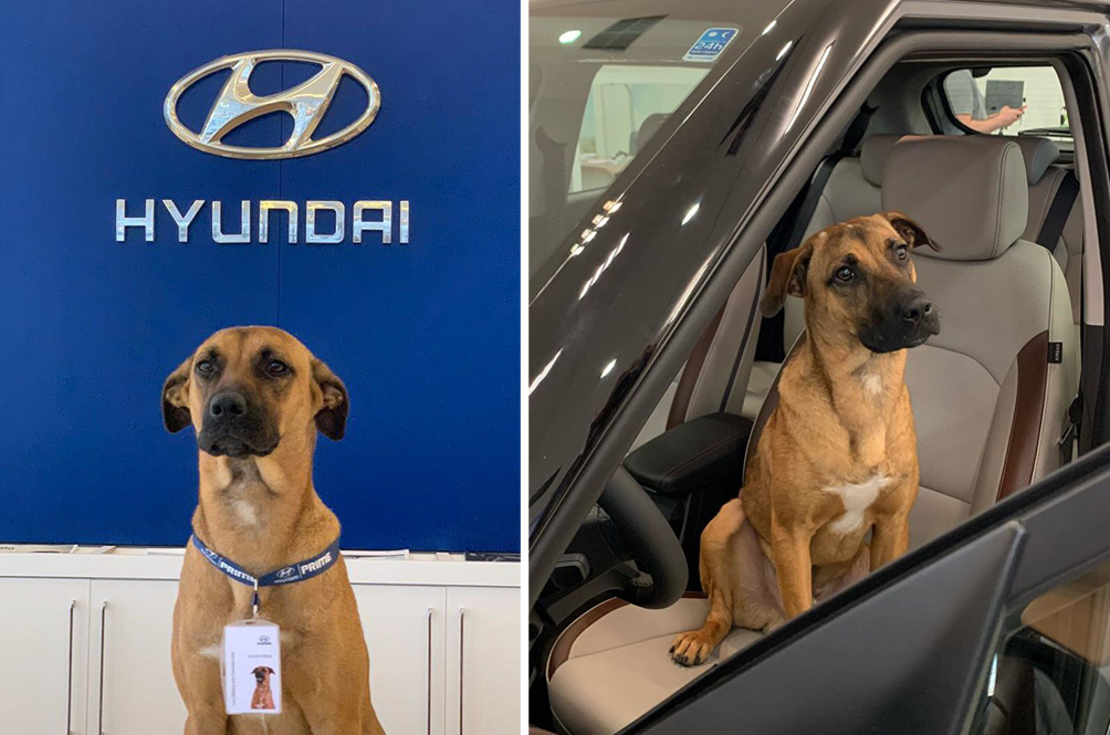 Doggo Who Visits Car Showroom Every Day Gets Hired As New Employee