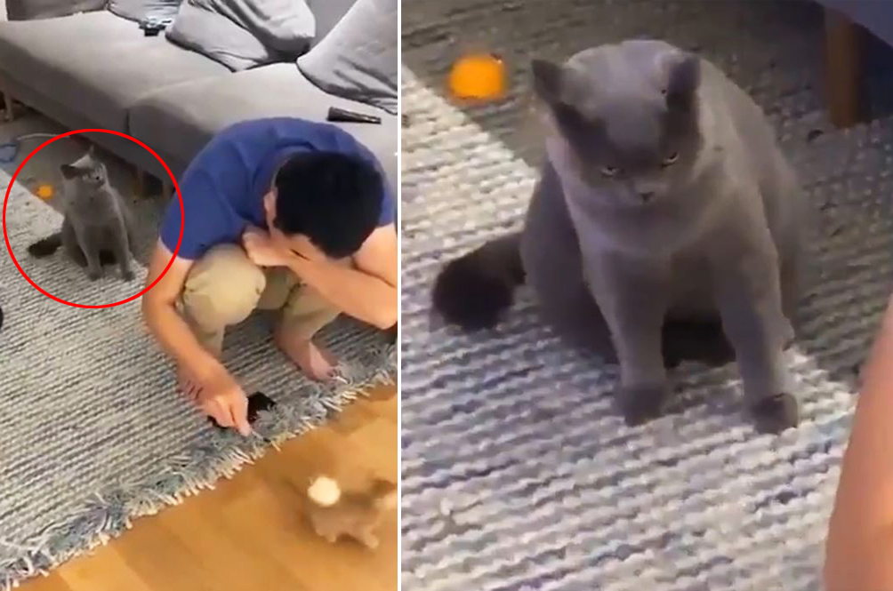 Video Of Cat Jealously Looking On As Owner Plays With New Kitten Goes Viral