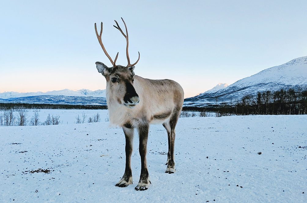 Climate Change Reportedly Killed 200 Reindeer In Svalbard Recently