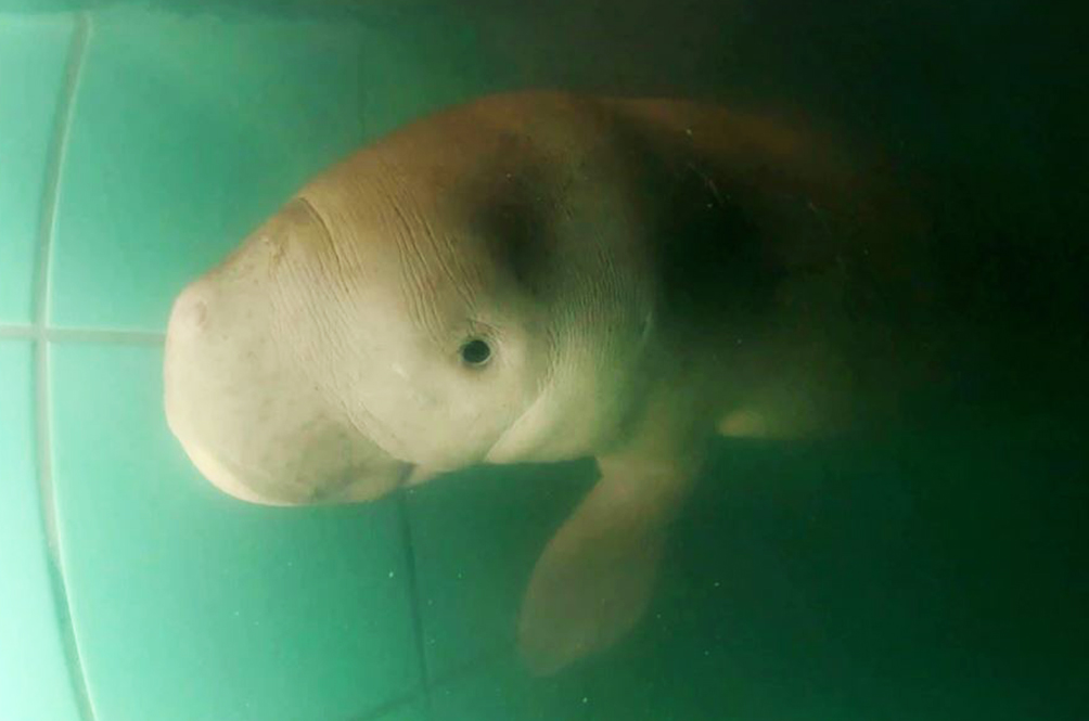 Thai Princess Named Baby Dugong That Washed Ashore 'Handsome Sea Prince'