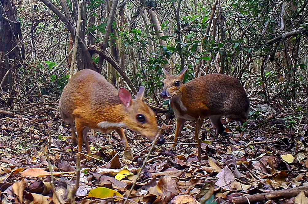Miniature Mouse Deer That's Thought To Be Extinct Rediscovered In Vietnam