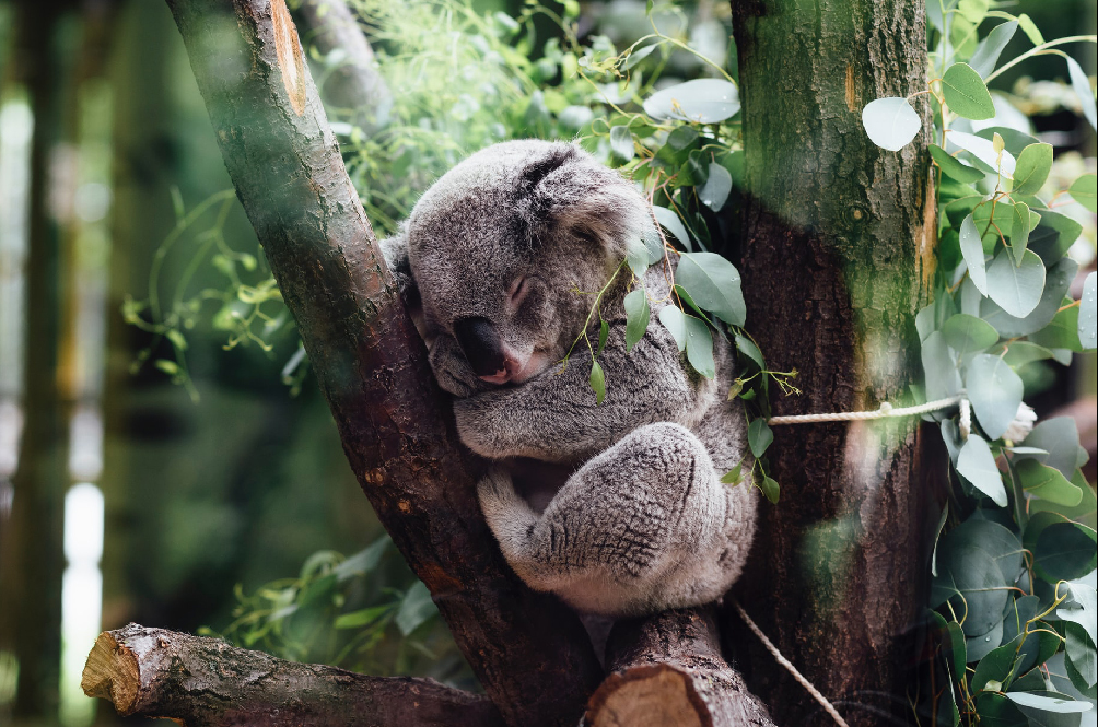 Experts: Koalas In New South Wales Could Become Extinct By 2050