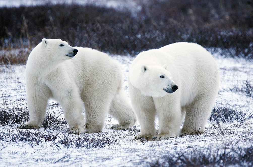 Scientists: Climate Change Could Starve Polar Bears Into Extinction