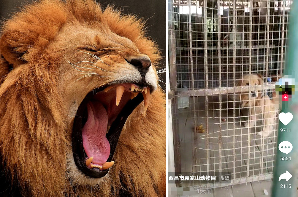 Zoo In China Replaces African Lion With A Confused-Looking Golden Retriever, Angering Visitors