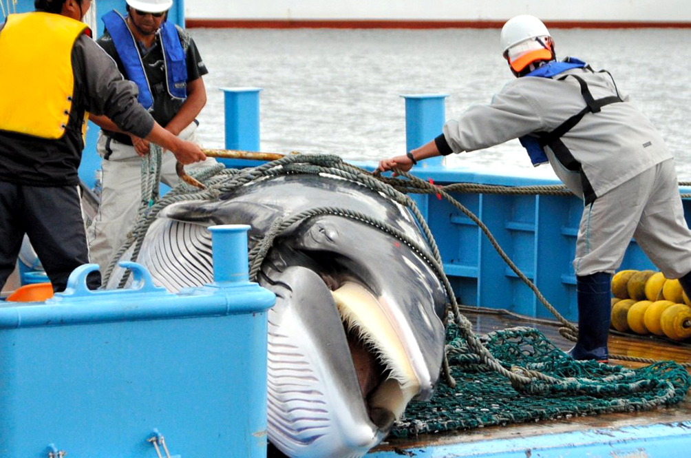 After Lifting 30-Year Commercial Whaling Ban, Japan Catches Its First Whale