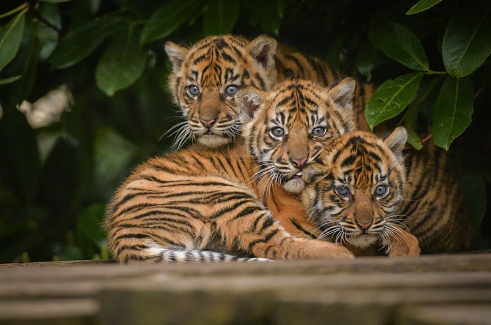 KL City Hall To Adopt Three Tiger Cubs From Zoo Negara