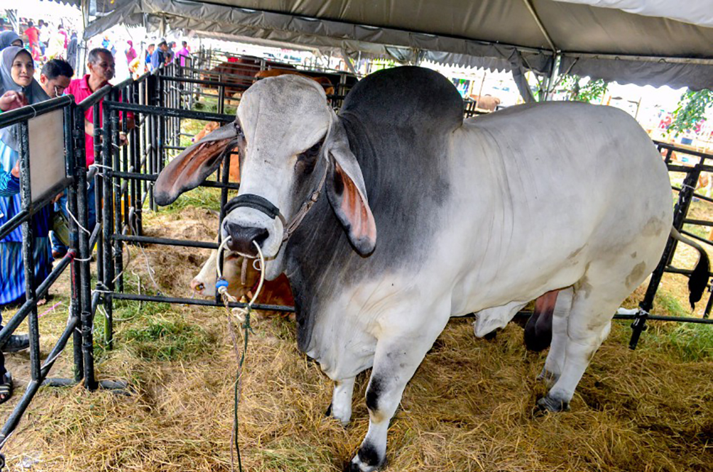 Enormous Cow Steals The Spotlight At Breeders Event In Kelantan