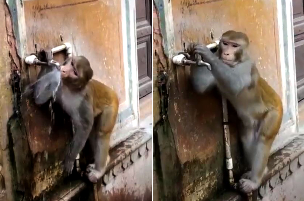 Video Shows Monkey Switching Off Tap After Drinking Water, Internet Is In ❤️